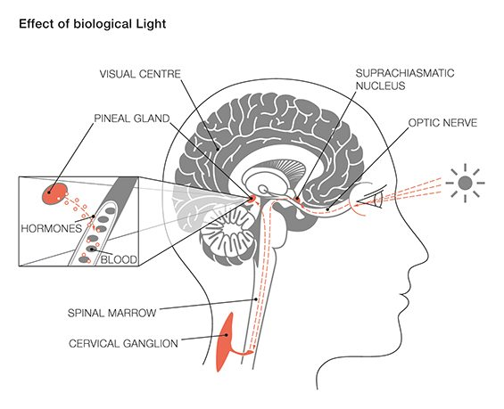 Effect of Biological Light on Circadian Rhythm
